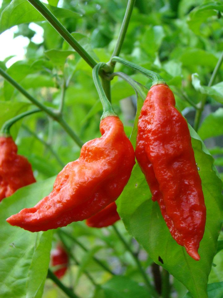 Hot Chillies 5