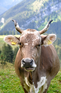Cow ruminating