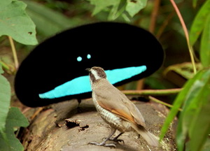 Mystifying Birds of Paradise
