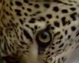 Leopard Changes its Spots
