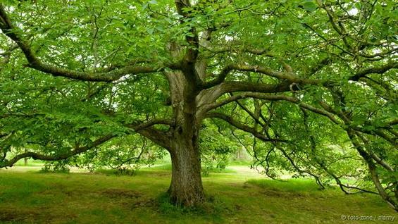 Black walnut tree juglans nigra credit foto zone alamy