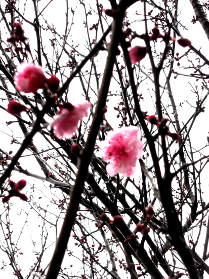 020-Spring comes to Wollstonecraft