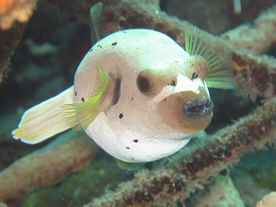 030-Blackspotted Puffer