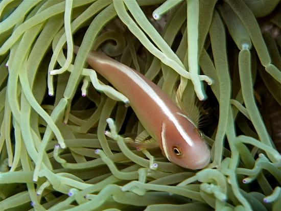 090-Pink Anemonefish
