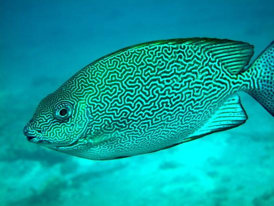 120-Vermaculate Rabbitfish