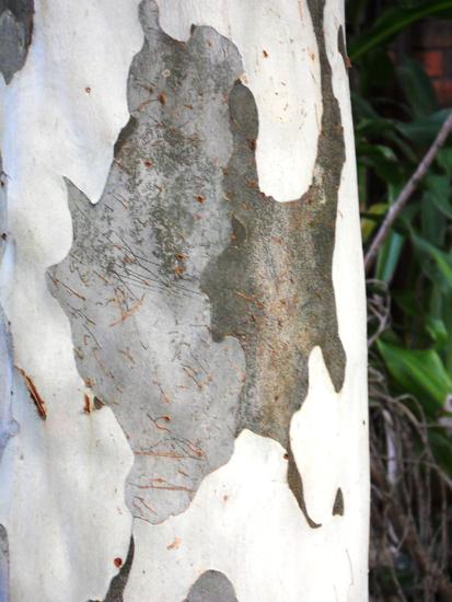 140-Greywhite trunk