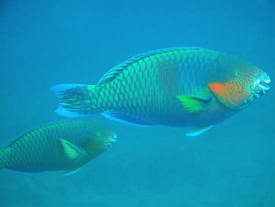 140-Surf Parrotfish, male and female