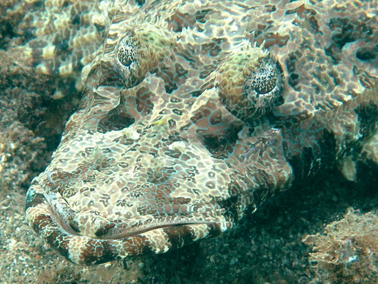 Crocodile Flathead, Close-up