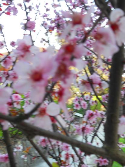 220-through-a-blossom-lightly