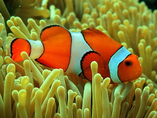 310-False Clown Anemonefish