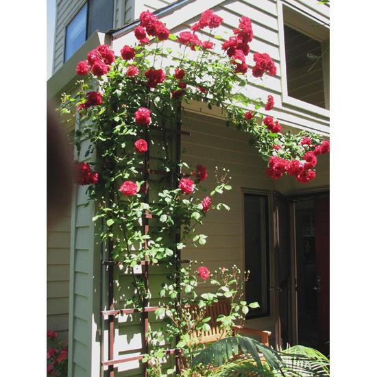 Roses thriving at Osho Viha