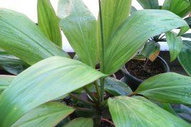 Ti plants