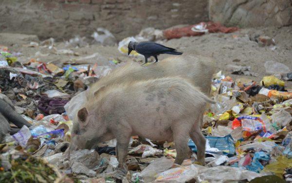 035 maya pig
