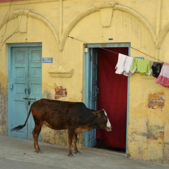 095 maya cow door