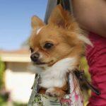 Chihuahua in Handbag