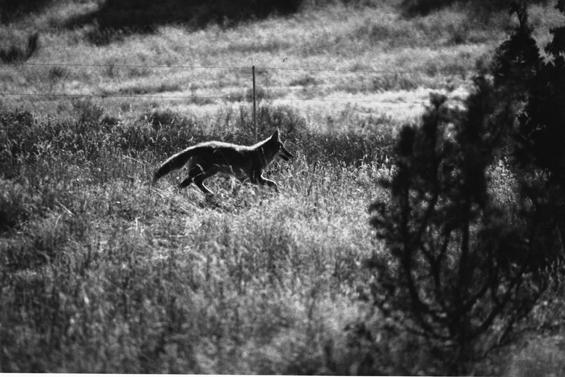 friendly fox by Yogena