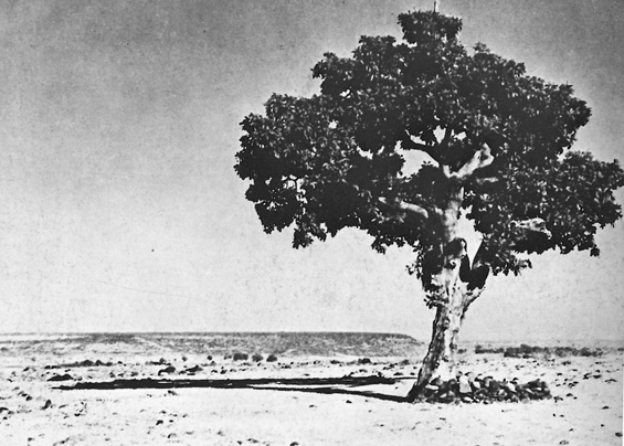 Historical photo of the Satori Tree