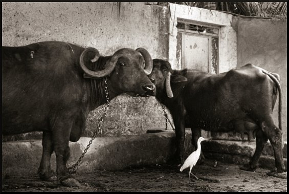 Buffaloes and Igret, Junagadh