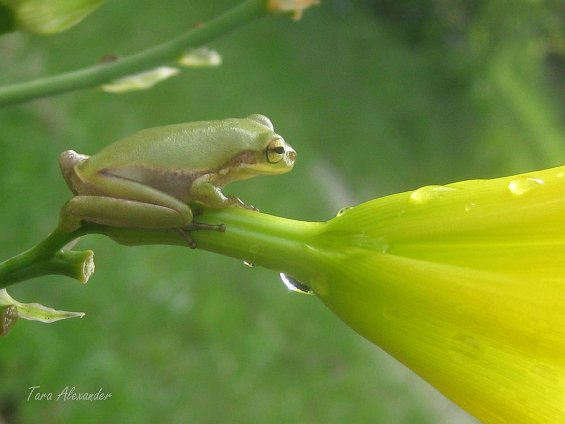 Frog on daylily