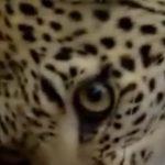 Leopard Feat.