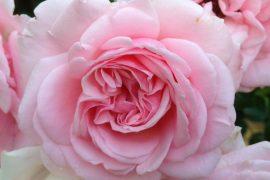 Rose Anubhasha