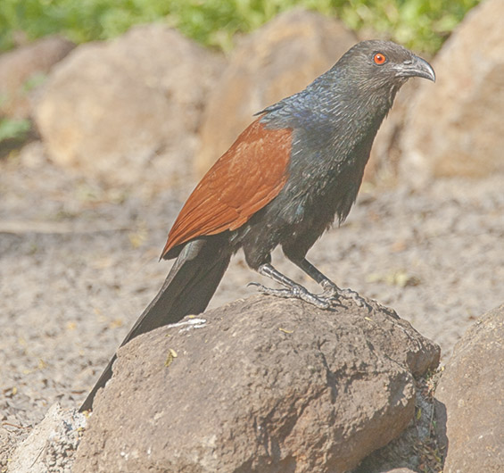 Coucal at Osho Teerth Park