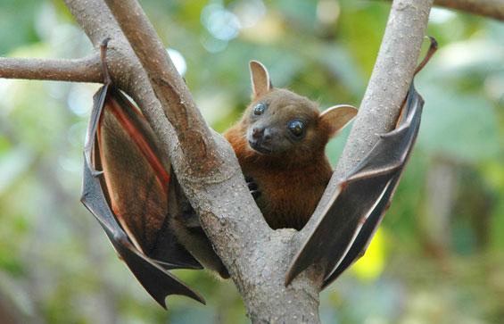 Lesser short-nosed fruit bat
