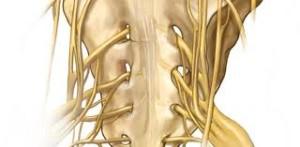 The sacral nerves trigger orgasm