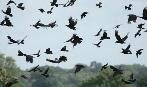 Rooks flying over new-cut grass Feat.