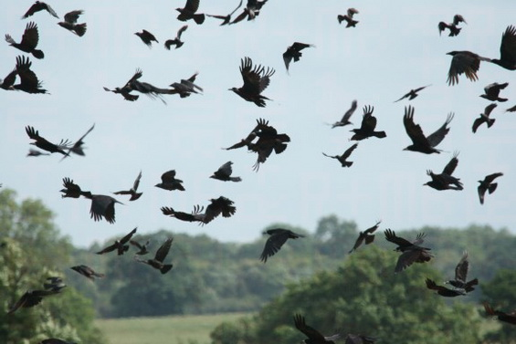 Rooks flying over new-cut grass