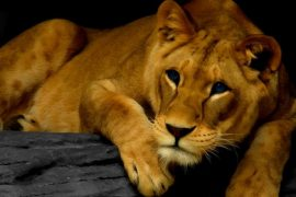 Lioness Feat.