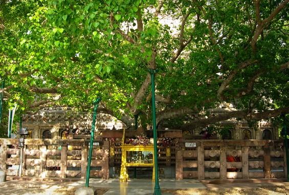 Peepal tree in Bodh Gaya