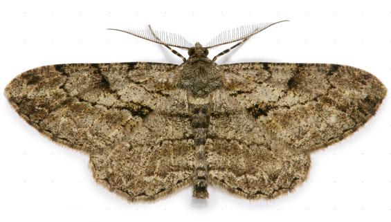 pale-oak-beauty-moth-1