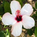 Hibiscus-white