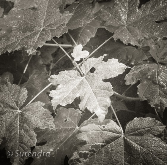 Sycamore Leaves, UK