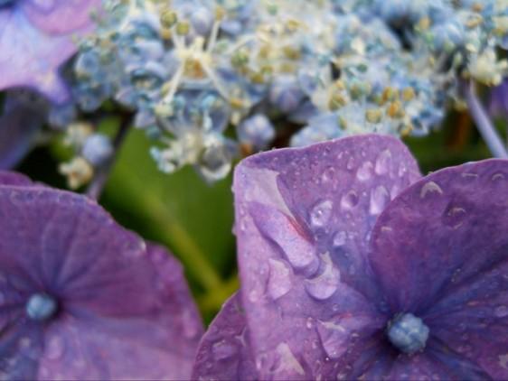 08 Hydrangea in rain 3