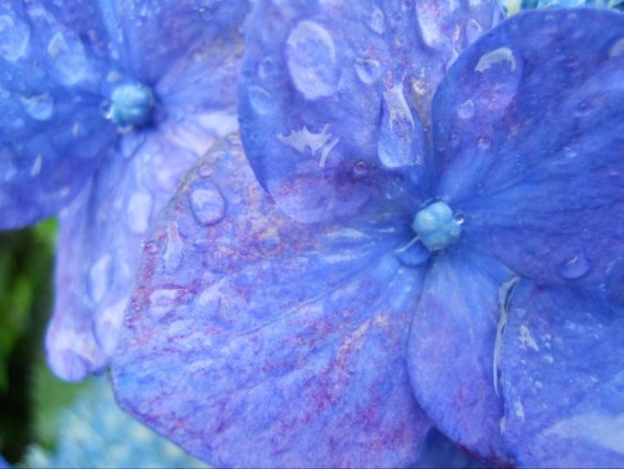 09 Hydrangea in rain 4
