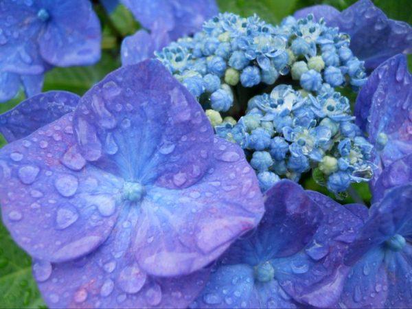 10 Hydrangea in rain