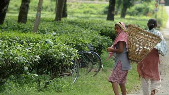 Gathering tea leaves in baskets