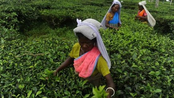 Tea leaf gatherers