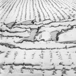 Winter Rice 1