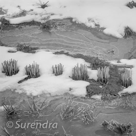 Winter Rice 7