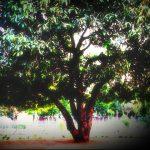 Maulshree Tree Jabalpur