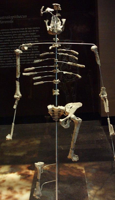 Australopithecus aforensis