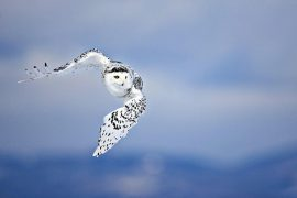 beautiful owl flying