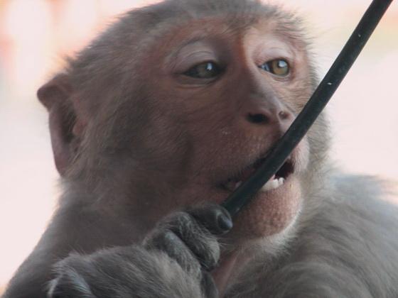 22 Haridwar Monkey