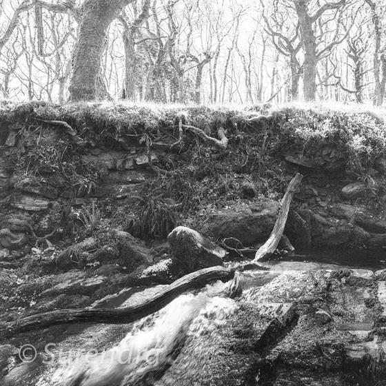 Halstock Wood, Dartmoor, UK
