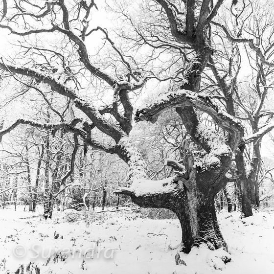 Snow, Halstock Wood, Dartmoor, UK