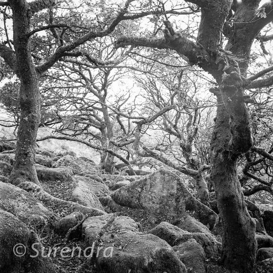 Wistman's Wood, Dartmoor, UK