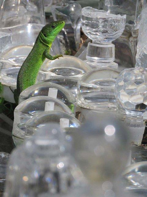 Resident emerald lizard
